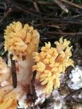 Ramaria rubribrunnescens image