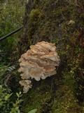 Image of Grifola gargal
