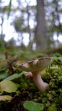 Russula nothofaginea image
