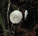 Lepiota rubrotinctoides image