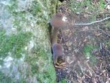 Oudemansiella furfuracea image