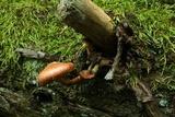 Gymnopilus braendlei image