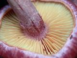Gymnopilus thiersii image