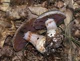 Cortinarius subpulchrifolius image