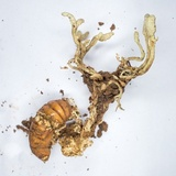 Image of Cordyceps pleuricapitata