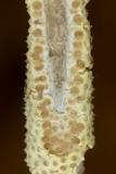 Cordyceps pleuricapitata image
