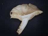 Lactarius ruginosus image