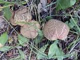 Xerocomellus diffractus image