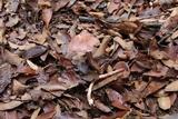 Image of Cortinarius roseocalceolatus