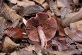 Cortinarius roseocalceolatus image