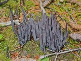 Alloclavaria purpurea image