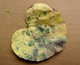 Pseudocercospora vitis image