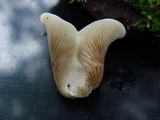 Crepidotus albidus image