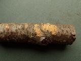 Peniophora aurantiaca image