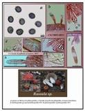 Russula pseudolepida image