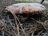 Russula ventricosipes image