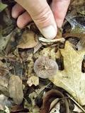 Cortinarius iodes image