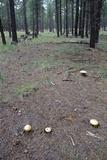 Amanita cochiseana image