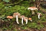Hygrophorus pudorinus image