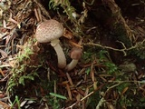 Lepiota flammeotincta image