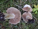 Hebeloma megacarpum image