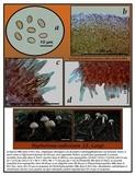 Hypholoma radicosum image