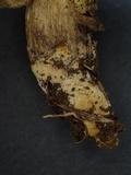 Xerocomus parvulus image