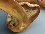 Gymnopilus punctifolius image