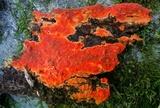 Phlebia coccineofulva image
