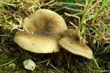 Melanoleuca graminicola image