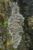 Kretzschmaria zonata image
