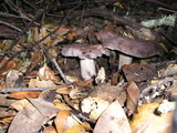 Lactarius argillaceifolius image