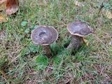 Leccinum griseonigrum image