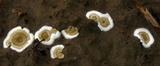 Peniophora albobadia image