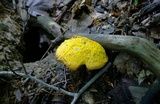 Buchwaldoboletus hemichrysus image