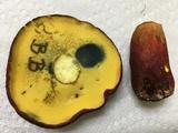 Boletus pallidoroseus image