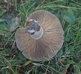 Lactarius chelidonium var. chelidonioides image