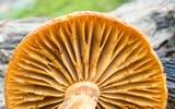 Gymnopilus luteus image