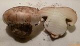 Tricholoma colossus image