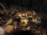 Cortinarius ponderosus image