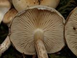 Pholiota mixta image