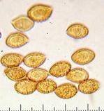 Cortinarius montanus image