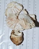 Amanita hygroscopica image