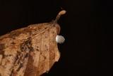 Mycena stylobates image