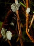 Tetrapyrgos subdendrophora image
