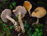 Hydnum rufescens image