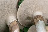 Suillus viscidus image