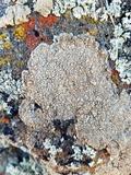 Aspicilia cuprea image