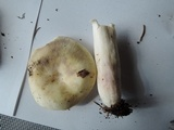 Russula violeipes image