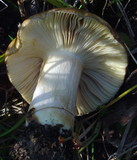 Russula clavipes image